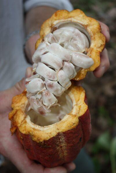 fruto de cacau
